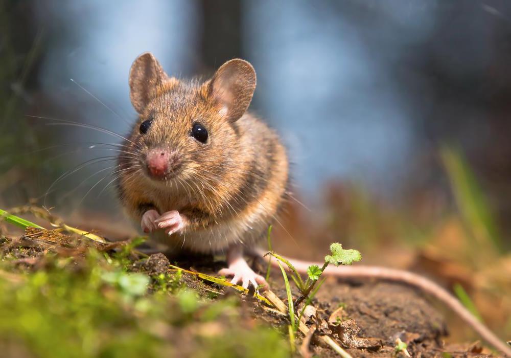 El rat n como mascota - Como evitar los ratones ...