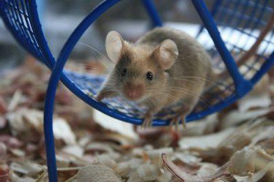 El rat n como mascota - Comida para ratones ...