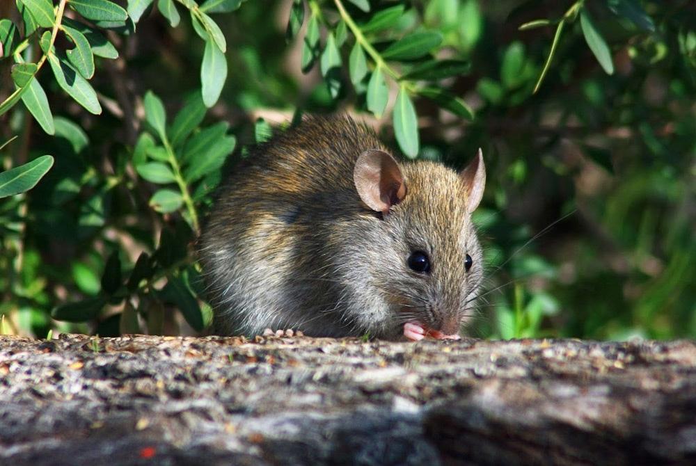 eliminar ratones de campo free eliminar ratones de campo