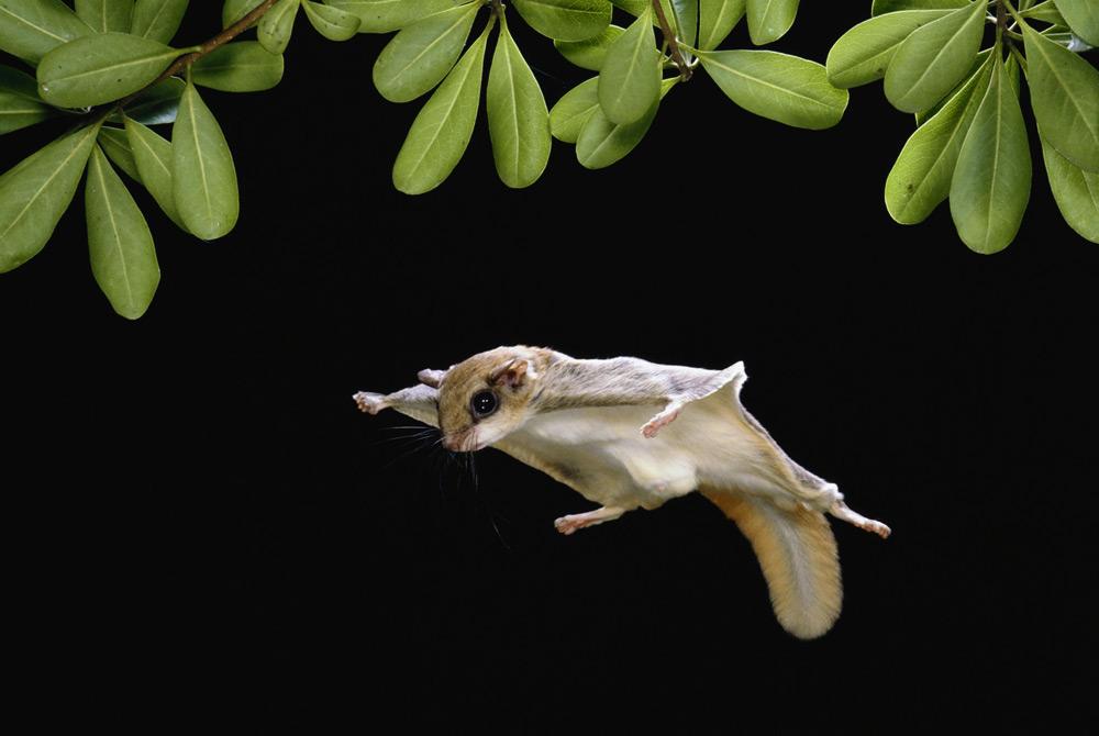 Ardilla Voladora